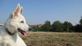 Weißer Schweizer Schäferhund Lizenzfreie Stockfotos