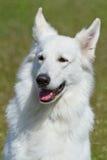 Weißer Schweizer Schäferhund-Hund Lizenzfreie Stockbilder