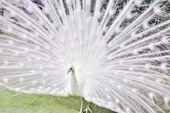 Weißer seltener Pfau stockfotografie