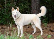 Weißer sibirischer Husky stockfoto