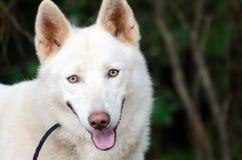 Weißer sibirischer Husky stockfotografie