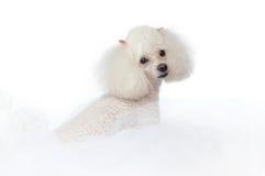 Weißer Spielzeug-Pudel stockbild