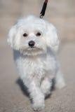 Weißer Spielzeughund Stockfotos