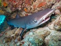 Weißer Spitze Haifisch lizenzfreies stockbild
