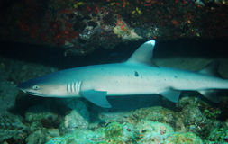 Weißer Spitzehaifisch Stockbild