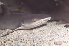 Weißer Spitzerifhaifisch Lizenzfreies Stockfoto
