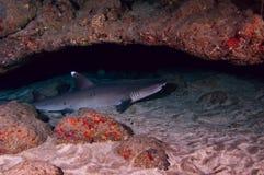 Weißer Spitzerifhaifisch Stockfoto