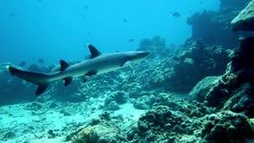 Weißer Spitzerifhaifisch stock footage