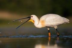 Weißer Spoonbill, der Fische und Trinkwasser isst lizenzfreies stockbild