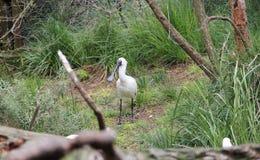 Weißer Spoonbill im Gras Stockfoto