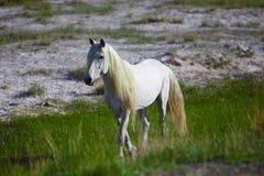 Weißer Stallion Lizenzfreies Stockbild