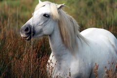Weißer Stallion Stockbild