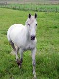 Weißer Stallion in Weide 2 Lizenzfreie Stockbilder