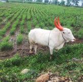 Weißer Stier Stockbilder