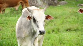 Weißer Stier am Feld stock video footage
