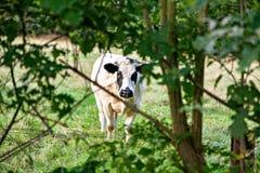 Weißer Stier mit schwarzem Fleck hinter dem Baum Stockbild