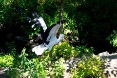 Weißer Storch Stockbild