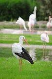 Weißer Storch Stockfotografie