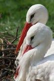 Weißer Storch Lizenzfreies Stockbild