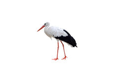 Weißer Storch Lizenzfreies Stockfoto
