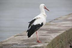 Weißer Storch Lizenzfreie Stockbilder