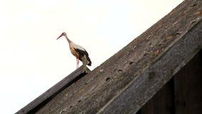 Weißer Storch auf dem Dach eines Hauses stock video footage