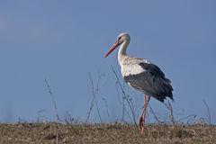 Weißer Storch auf dem Feld Lizenzfreie Stockfotos