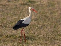Weißer Storch auf dem Feld Stockbilder