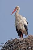 Weißer Storch auf dem Nest Lizenzfreie Stockfotos