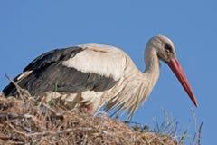 Weißer Storch auf dem Nest Stockfoto