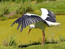 Weißer Storch auf den Banken von einem Teich Stockfotos