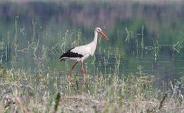 Weißer Storch auf der Flussbank Stockfotografie