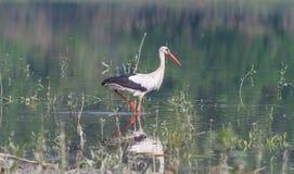 Weißer Storch auf der Flussbank Stockfotos