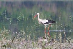 Weißer Storch auf der Flussbank Lizenzfreies Stockbild