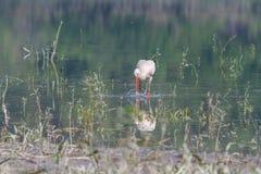 Weißer Storch auf der Flussbank Stockfoto