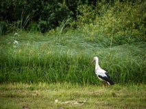 Weißer Storch auf einem Gebiet Stockfotografie