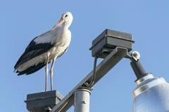 Weißer Storch auf einem Laternenpfahl stockbild