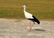 Weißer Storch ciconia ciconia stockbilder