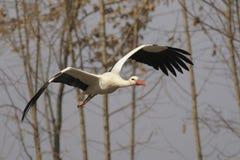 Weißer Storch - Ciconia Ciconia Lizenzfreies Stockbild