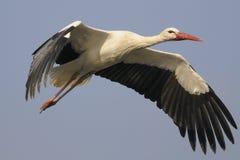 Weißer Storch - Ciconia Ciconia Lizenzfreie Stockbilder