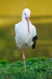 Weißer Storch (ciconia ciconia) Lizenzfreie Stockfotografie