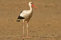 Weißer Storch (Ciconia Ciconia) lizenzfreies stockbild