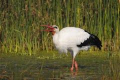 Weißer Storch - Ciconia Ciconia Linnaeus Lizenzfreie Stockbilder