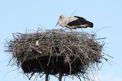 Weißer Storch in das Nest Stockbild