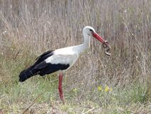 Weißer Storch, der eine Würfelschlange isst Stockfotografie