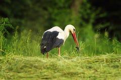 Weißer Storch, der langsamen Wurm isst stockfoto