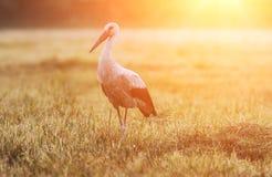Weißer Storch des einzelnen Vogels am Feld im Sonnenlicht Stockbilder