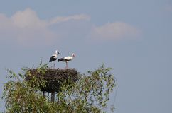 Weißer Storch des Vogels lizenzfreies stockfoto