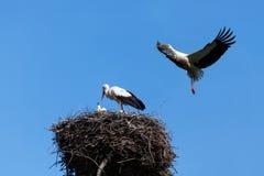 Weißer Storch im blauen Himmel Lizenzfreie Stockbilder