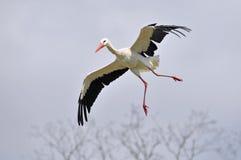 Weißer Storch im Flug stockfotos